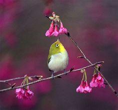 #740 小綠角鐵, Japanese White Eye, taken at DaSyueShan 15k, Taichung County, TAIWAN, via Flickr.