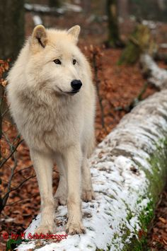 Arctic Wolf - they live in complete darkness 5 continuous months a year during winter - their hair grows to 5 inches long and keeps them warm to 20 degrees below zero