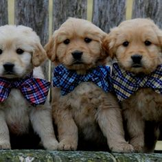 Golden Retriever Puppies. give me all of them.