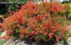 La planta Lágrimas de Cupido, Russelia equisetiformis