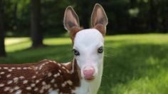 white‐tailed deer