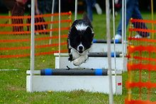 Come to our 5 yr Anniversary Celebration and see a Flyball demonstration!  Flyball - Wikipedia, the free encyclopedia