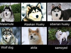 Good side by side pictures - Husky - Funny Animal Memes, Funny Animals, Cute Animals, Cute Puppies, Dogs And Puppies, Alaskan Husky, Giant Alaskan Malamute, Malamute Husky, Snow Dogs
