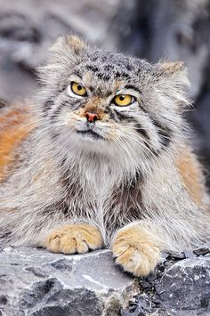 "The manul, an ancient breed of small cats, 12 million years old. They can't be domesticated and are classified as ""near threatened"". They live on the Asian Steppes. Check out the link for lots of photos! (Also called Pallas cat)"