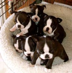 Boston Terrier Puppies.