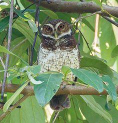 New Britain Hawk Owl (Ninox odiosa) by Markus Lagerqvist