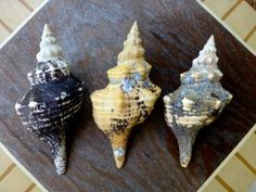 HOW TO: Clean Conch Shells