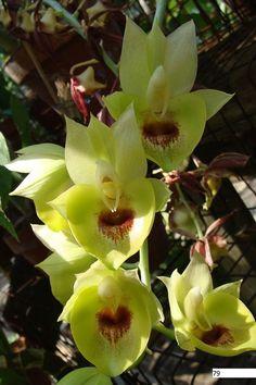 Catasetum [Ctsm.] - NATURAL - Catasetinae Canada Your Catasetinae Orchid Connection!