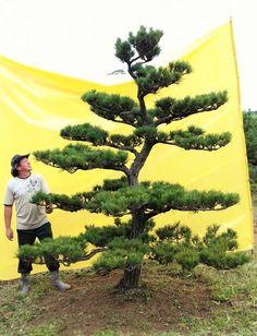 Matsu Nagao: PINHEIRO NEGRO JAPONES KUROMATSU PARA JARDIM JAPON...