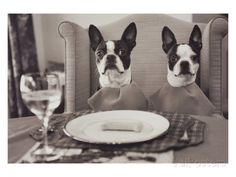 Boston Terriers Dining Photographic Print by Theo Westenberger at AllPosters.com