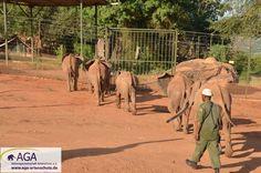 Abendliche Rückkehr in die Auswilderungsstation. Die Nacht verbringen die Elefantenwaisen in kleinen Gruppen. Nairobi, Elephant, Animals, Elephants, National Forest, Night, Animales, Animaux, Animal