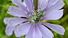 Chicory Blossom w/Iridescent Green Bottle Fly / by PhotoClique