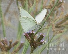 Sitting Pretty, Cabbage White Butterfly by TN Fairey