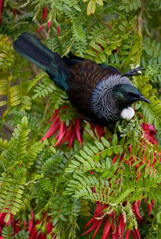 New Zealand Tui Bird: Photography by Mandy Hague, Whakatane. Pretty Birds, Beautiful Birds, Animals Beautiful, Exotic Birds, Colorful Birds, Tui Bird, New Zealand Art, Nz Art, All Birds