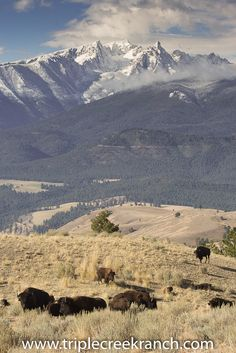 A home for the bison to roam.  CB Ranch nature tours and photo safaris only at Triple Creek Ranch, Darby, Montana.