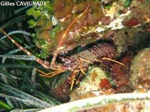 Image of Palinurus elephas (Common spiny lobster)