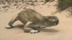 Diictodon had it's little teeth to fight of competing males. However diictodon had an advantage over its superior predators, like gorgonopsid. It lived in small communities of holes they live through. If one saw a predator, all would be alerted of it.