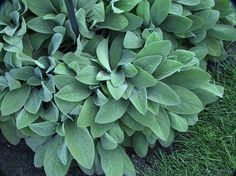 "Stachys byzantia ""Big Ears"" Lamb's Ear - Gracie's favorite.  Use in borders, light purple flowering, low maintenance, deer and bunny resistant. In the north bed, by the porch."