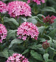 63 best flowers pentas images on pinterest pentas flower flowers graffiti pink pentas pentas lanceolata full sun heat tolerant 12 mightylinksfo