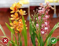 Cimbidio - Cymbidium spp.: algumas orquídeas também são usadas como flores de corte, o cimbídio é uma delas e deve ser adquirida com muitos botões ainda fechados, pétalas ovaladas e firmes e caules e folhas verdes. Nesta situação, a flor dura cerca de 30 dias. Porém, quando suas pétalas já começam a fechar e ela não tem mais botões, deve aguentar no máximo mais dez dias Reinaldo Canato/ UOL/ Arte UOL