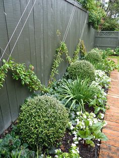 Small Garden Chinese Star Jasmine, Trachelospermum jasminoides on espalier wires, underplanted with Corokia Balls, Corokia Geentys Ghost. Designed by HEDGE Garden Design & Nursery. Small Garden Design, Garden Landscape Design, Small Garden Planting Ideas, House Landscape, Small Gardens, Outdoor Gardens, Outdoor Sheds, Outdoor Plants, Garden Cottage