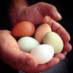 Ten Reasons to Keep Backyard Chickens