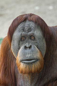 A beautiful face! Male orangutan Satu