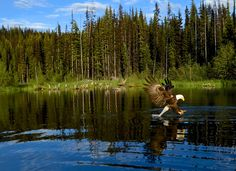 Bald Eagle (Haliaeetus leucocephalus) feeding at the Wendego Lodge near Kamloops, Canada.