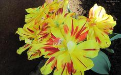 Bukiet, Żólto, Czerwonych, Tulipanów