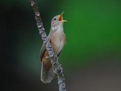 Foto corruíra (Troglodytes musculus) por Fabiano Guimarães | Wiki Aves - A Enciclopédia das Aves do Brasil