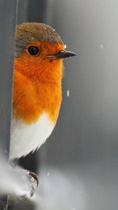 Robin, so cute!