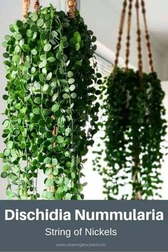 String of Nickels (Dischidia Nummularia) The String of Nickels is a creeping epiphyte that is often found on trees. It is native to Australia, India, Hanging Succulents, Succulents Garden, Planting Flowers, Hanging Plants Outdoor, Succulents Painting, Succulents Wallpaper, Succulents Drawing, Indoor Succulents, Propagating Succulents