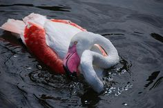 💬 Check out this free photoWhite and Red Swan on Body of Water    🆗 https://avopix.com/photo/41684-white-and-red-swan-on-body-of-water    #flamingo #aquatic bird #wading bird #bird #coho #avopix #free #photos #public #domain