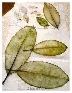 How to make skeleton leaves...great botanical project.