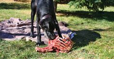 Great Deane eating the food he is designed for. #rawfood #greatdanes #dogs