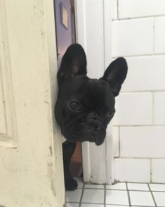 My French Bulldog every time I'm in the bathroom! #Buldog