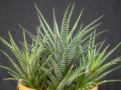 Haworthia attenuata – Zebra Plant - See more at: http://worldoffloweringplants.com/haworthia-attenuata-zebra-plant