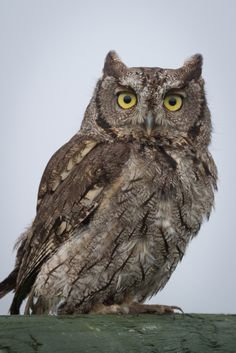 Find Close Portrait Western Screech Owl Megascops stock images in HD and millions of other royalty-free stock photos, illustrations and vectors in the Shutterstock collection. Owls In Texas, Western Screech Owl, Elf Owl, Owl Species, Spotted Owl, Saw Whet Owl, Short Eared Owl, Owl Tattoo Design, Great Grey Owl