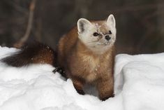 There are 8 species of Pine Marten that are found the world over. The American Pine Marten is just one of the many adorable kinds out there! Funny Animal Memes, Funny Animals, American Marten, Cute Wild Animals, Small Animals, Pine Marten, Parks Canada, Cute Faces, Predator