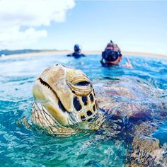 You never know who might pop by for a swim when you are at the Great Barrier Reef. Photo courtesy: Reed Plummer #greatbarrierreef #hamiltonisland #whitsundayislands #tropicalqueensland #queensland #australia #discoveraustralia by tropicalqueensland http://ift.tt/1UokkV2