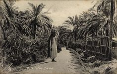 Date palms, Balsara, Iraq