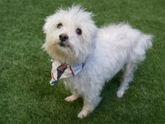 SAFE ♡ My name is BAJIE. My Animal ID # is A1115530. I am a male white maltese and west highland mix. The shelter thinks I am about 10 YEARS old.  I came in the shelter as a STRAY on 06/16/2017 from NY 10458, owner surrender reason stated was STRAY.