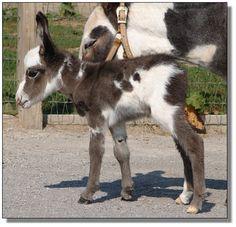 mini Donkey
