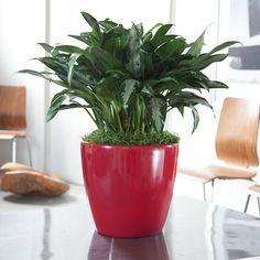 Chinese Evergreen (Aglaonema Silverado) http://mycityplants.com/plant-shop/chinese-evergreen/