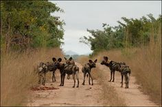 The endangered African wild dog - a real treat when on safari.