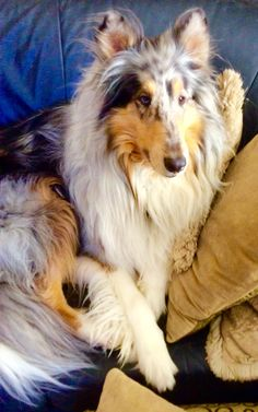 A Very Extraordinary Blue Merle Rough Collie Taking a Rest. Rough Collie, Collie Dog, Sheep Dogs, Doggies, Blue Merle Sheltie, Life Is Ruff, The Perfect Dog, Kittens And Puppies, Alpacas