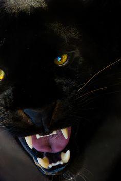 black panther growling