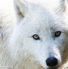 https://flic.kr/p/FVxp61   Arctic Wolf - Parc Animalier de Sainte-Croix April 2016 06