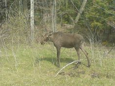 Pulled over on the side of the highway when I saw this young moose...