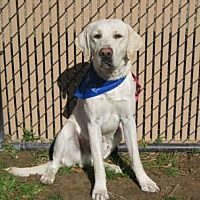 Pictures of LEGO a Labrador Retriever for adoption in Norco, CA who needs a loving home.